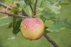 Rood Apple Stock Foto's