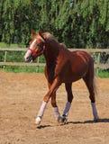 Rood Arabisch paard met rode halter Royalty-vrije Stock Afbeelding