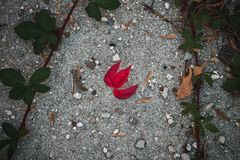 Rood Autumn Leaf op Grond royalty-vrije stock afbeelding