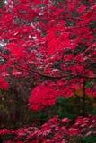 Rood Autumn Leaves in het Vreedzame Noordwesten stock afbeeldingen