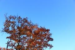 Rood Autumn Leaves tegen Blauwe Hemel Stock Afbeelding
