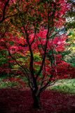 Rood Autumn Tree, Queenswood, Herefordshire Stock Afbeelding
