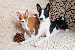 Rood Basenji-puppy met hond van moeder de zwarte Basenji Royalty-vrije Stock Afbeeldingen