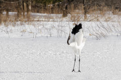 Rood-bekroond/Japans Crane Courtship Behavior royalty-vrije stock foto