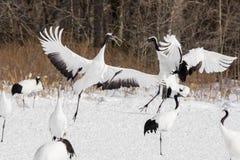 Rood-bekroond/Japans Crane Dance Displays stock fotografie