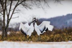 Rood-bekroonde kraanvogel royalty-vrije stock afbeelding