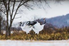 Rood-bekroonde kraanvogel royalty-vrije stock afbeeldingen