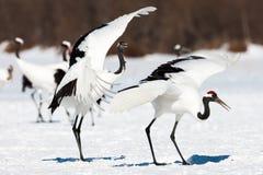 Rood-bekroonde kraanvogel die op sneeuw dansen en in Kushiro, het eiland van Hokkaido, Japan in wintertijd vliegen stock afbeelding