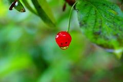 Rood bes en blad met regendruppels Stock Afbeelding