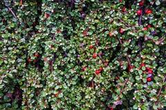 Rood bessen en bladerenclose-up Stock Foto