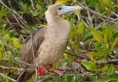 Rood-betaalde Domoor, de Eilanden van de Galapagos Stock Afbeeldingen