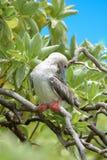Rood-betaalde Domoor, vogel royalty-vrije stock foto