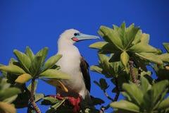 Rood-betaalde Domoorvogel royalty-vrije stock fotografie