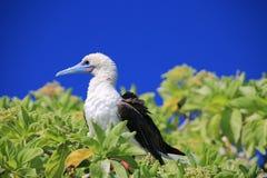 Rood-betaalde Domoorvogel royalty-vrije stock foto