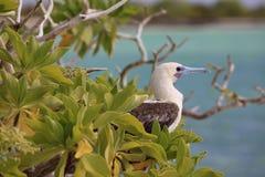 Rood-betaalde Domoorvogel stock fotografie
