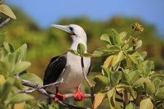 Rood-betaalde Domoorvogel royalty-vrije stock foto's