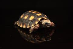 Rood-betaalde schildpad Royalty-vrije Stock Foto