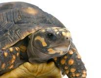 Rood-betaalde schildpad Stock Foto