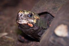 Rood-betaalde schildpad Stock Fotografie