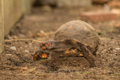 Rood-betaalde schildpad die rond kruipen Royalty-vrije Stock Afbeeldingen