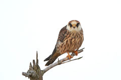 Rood-betaalde valk (Falco-vespertinus) royalty-vrije stock afbeeldingen