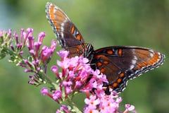 Rood-bevlekte Purpere Vlinder Stock Afbeelding