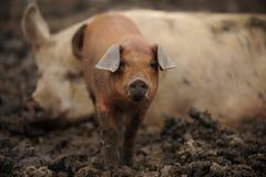 Rood Biggetje en volwassen varken Royalty-vrije Stock Afbeeldingen