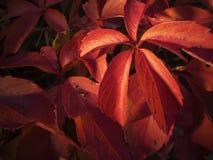 Rood bij de herfst Royalty-vrije Stock Fotografie