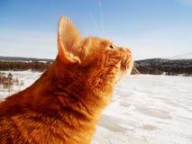 Rood binnenlands katje die de zon bekijken Stock Fotografie