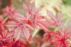 Rood blad stock fotografie