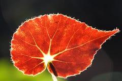 Rood blad Stock Foto