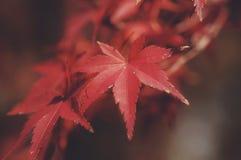 Rood blad royalty-vrije stock foto
