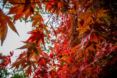 Rood Blad Autumn Tree, Queenswood, Herefordshire Royalty-vrije Stock Fotografie