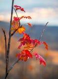 Rood blad in de herfst Stock Foto