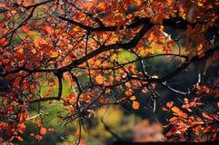 Rood blad in de herfst in China Stock Foto's