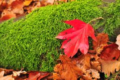 Rood blad groen mos Stock Afbeeldingen