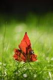 Rood Blad in het Gras Stock Foto