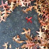 Rood blad onder bruine de herfstbladeren in daling Stock Foto's