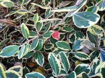 Rood blad onder een groep groene en gele bladeren royalty-vrije stock foto