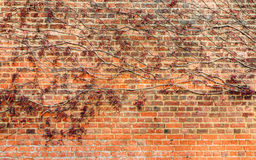 Rood blad op bakstenen muur Royalty-vrije Stock Foto's