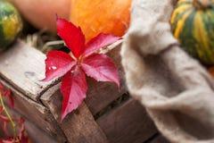 Rood blad Parthenocissusquinquefolia in de herfsttijd Stock Fotografie