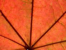 Rood blad van esdoorn Royalty-vrije Stock Foto's