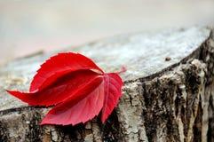 Rood blad van wilde druiven op een stomp Stock Foto