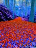 Rood/blauw prachtig bloemlandschap in Keukenhof Royalty-vrije Stock Afbeeldingen