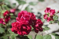 Rood bloeien nam struik toe Stock Afbeeldingen