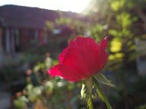 Rood bloeien nam toe stock afbeelding
