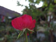 Rood bloeien nam toe royalty-vrije stock foto