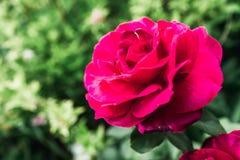 Rood bloeien nam in tuin toe Bloemen achtergrond Royalty-vrije Stock Afbeeldingen