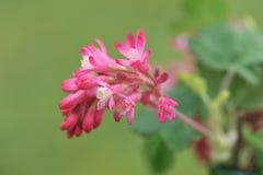Rood-bloeit bes op groene achtergrond Royalty-vrije Stock Fotografie