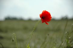 Rood bloem en gebied stock afbeelding